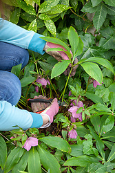 Cutting back hellebore leaves to reveal fresh new flowers in early spring