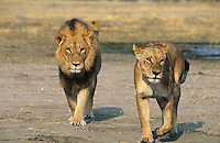 Pair of Lions walking on savannah