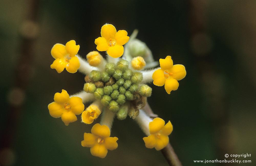 Edgeworthia chrysantha - Paper bush