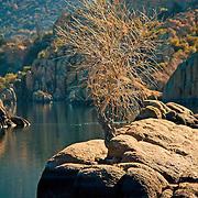 Tree growing from rock in Watson Lake, Prescott, AZ