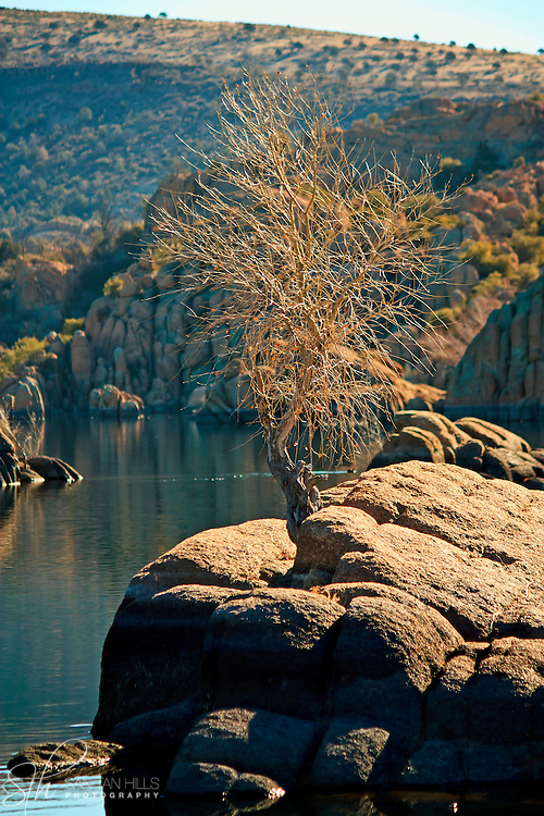 Tree growing from rock in Watson Lake, Prescott, AZ