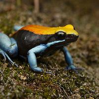 Blue-legged Mantella (Mantella expectata), found only from a few locations in Madagascar's arid southwest.