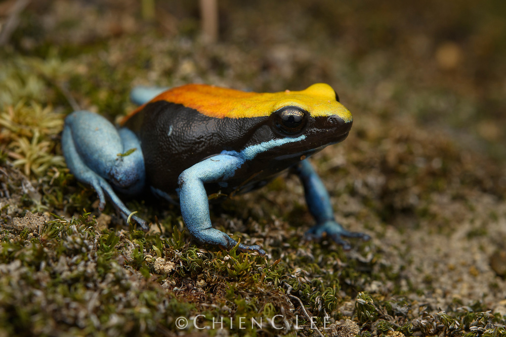 Blue-legged Mantella (Mantella expectata), found only from a few locations in Madagascar's arid southwest.