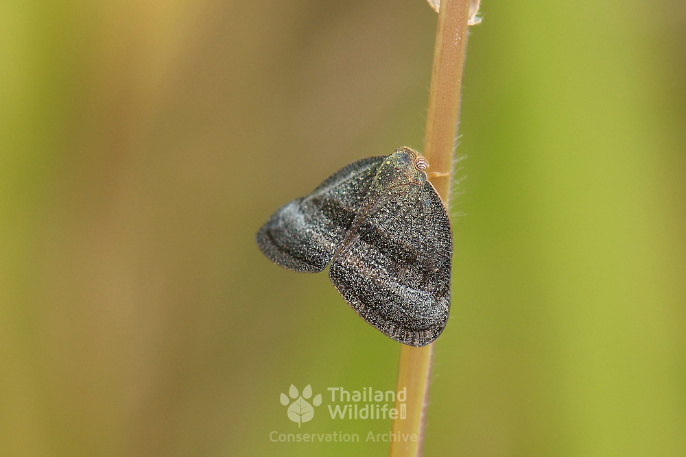 A Ricaniidae sp. planthopper. One of the smaller families in the planthopper superfamily (Fulgoroidea).
