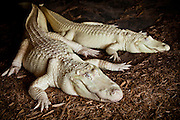 A mother & child Rare albino American alligator (Alligator mississipiensis) relaxes on land in Myrtle Beach, SC.