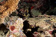 Oriental Sweetlips Junenile, Plectorhinchus vittatus, (Linnaeus, 1758), Maldives