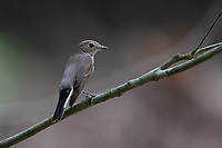 The Asian brown flycatcher (Muscicapa dauurica) is a small passerine bird in the flycatcher family Muscicapidae.