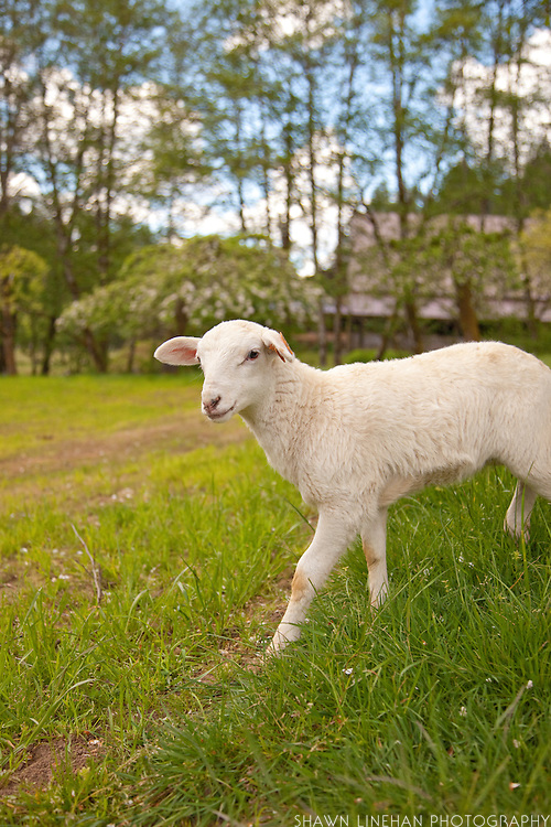 A lamb frolicking in the pasture at Leaping Lamb Farm.