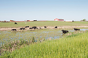 Cattle, prairie pothole, south central North Dakota