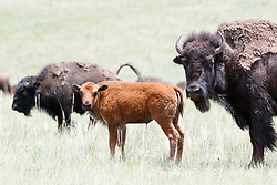 Bison calf in red fur (less than one month old) with bison cow, Vermejo Park Ranch, New Mexico, USA.