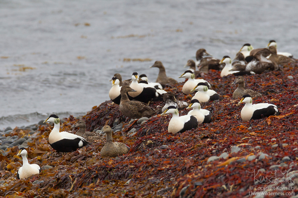Numerous common eiders (Somateria mollissima) nest on the shore of Bitrufjörður, a large fjord in northwestern Iceland. Common eiders are a large sea duck that nest at the edge of the sea. Nests are lined with feathers plucked from the female eider's breast.