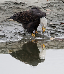 A bald eagle (Haliaeetus leucocephalus) is reflected in the river as it eats on a salmon fish carcass in the Alaska Chilkat Bald Eagle Preserve along the Chilkat River near Haines, Alaska. During late fall, bald eagles congregate along the Chilkat River to feed on salmon. This gathering of bald eagles in the Alaska Chilkat Bald Eagle Preserve is believed to be one of the largest gatherings of bald eagles in the world.