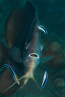 "A spadefish gets the ""full spa treatment"" from three cleaner wrasses"