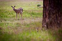 A deer, beginning to lose its winter coat, grazes in a field Monday near Hayden Lake.