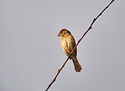 Female Cinnamon-rumped seedeater (Sporophila torqueola) - previously known as White-collared Seedeater - perched on a branch, Jocotopec, Jalisco, Mexico