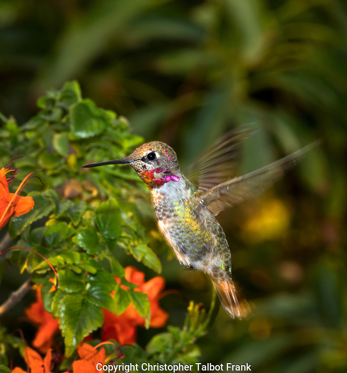 I used special photography equipment to photograph this vibrant flying hummingbird in Southern California. The little bird has sharp colors while still having wing movement.