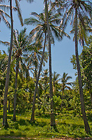Grove of coconut palms at Tulamben, Bali, Indonesia