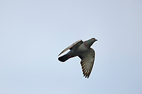 Common Pigeon or Rock Pigeon (Columbia livia) in flight, Petite Riviere, Nova Scotia, Canada