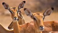 Alberto Carrera, Impala, Aepyceros melampus melampus, South Africa, Africa