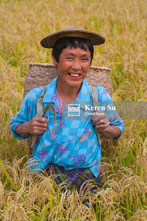 Farmer collect rice seeds in the farmlands, Paro, Bhutan