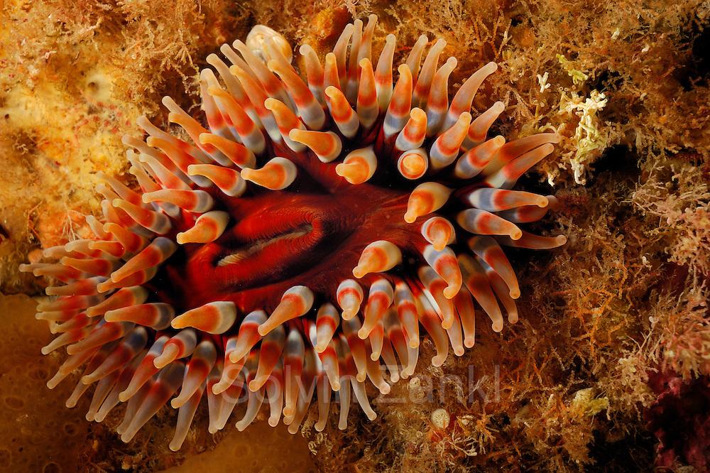 Dahlia anemone (Urticina felina), Atlantic Ocean, Strømsholmen, North West Norway   Dickhörnige Seerose oder Seedahlie (Urticina felina),  Atlantischer Ozean, Strømsholmen, Nordwestküste von Norwegen
