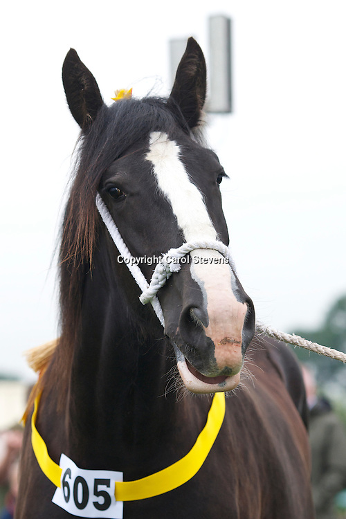 Dr V Schumann's   Black Filly   f  2010   Schumann's Black Pearl   <br />