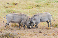 Two sub-adult Warthog boars fight in the open to determine dominance status. Addo Elephant National Park. South Africa.
