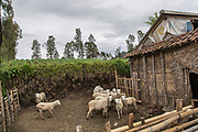 Sheeps in a cage in the middle of a farm near Bromo mountain in Cemoro Lawang Village, Probolinggo, East Java, 2017.