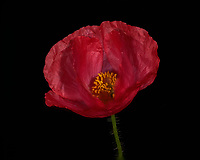 Red Poppy Flower. Backyard spring nature in New Jersey. Focus stacked composite of 25 mages taken with a Nikon Df camera and 105 mm f/2.8 VR macro lens and SB-910 flash(ISO, 105 mm, f/4, 1/60 sec). Images processed with Capture One and Helicon Focus (average, radius 8, smoothing 4)