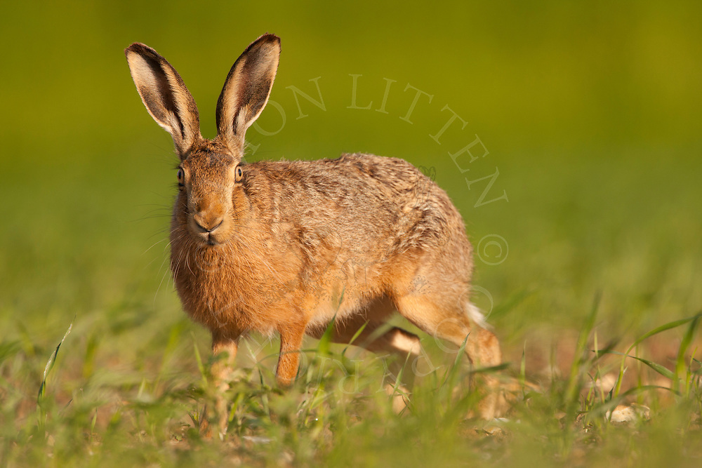 European Hare (Lepus europaeus) adult, alert in set-aside area, Norfolk, UK.