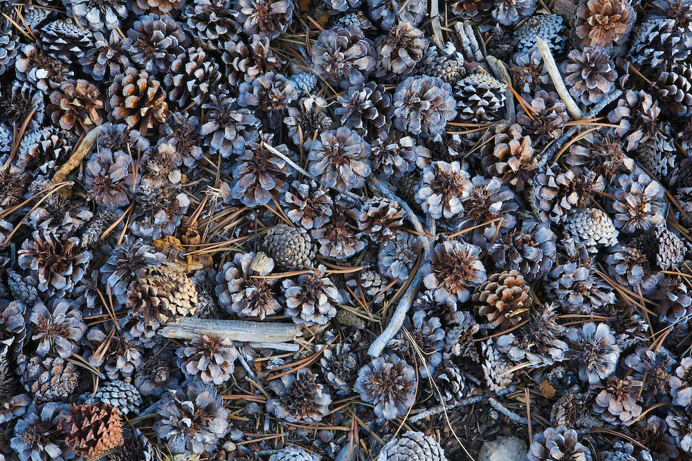 Pine cones in fall at Tuolumne Meadows Yosemite National Park California USA.