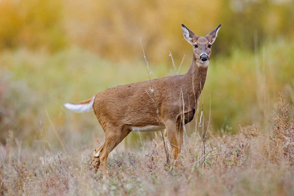 White-tailed deer image captured at the Rocky Mountain Arsenal, Colorado.