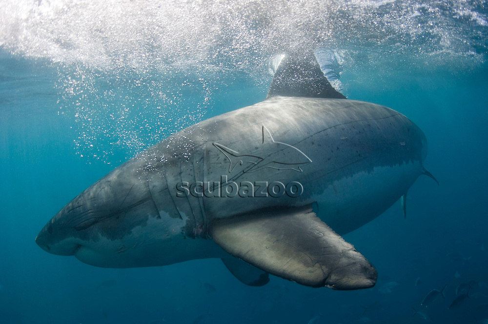 Side view of Great White Shark, Carcharodon carcharias, Neptune Islands, South Australia, Australia.