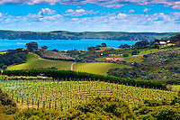 Vineyards, Waiheke Island, Hauraki Gulf, near Auckland, New Zealand