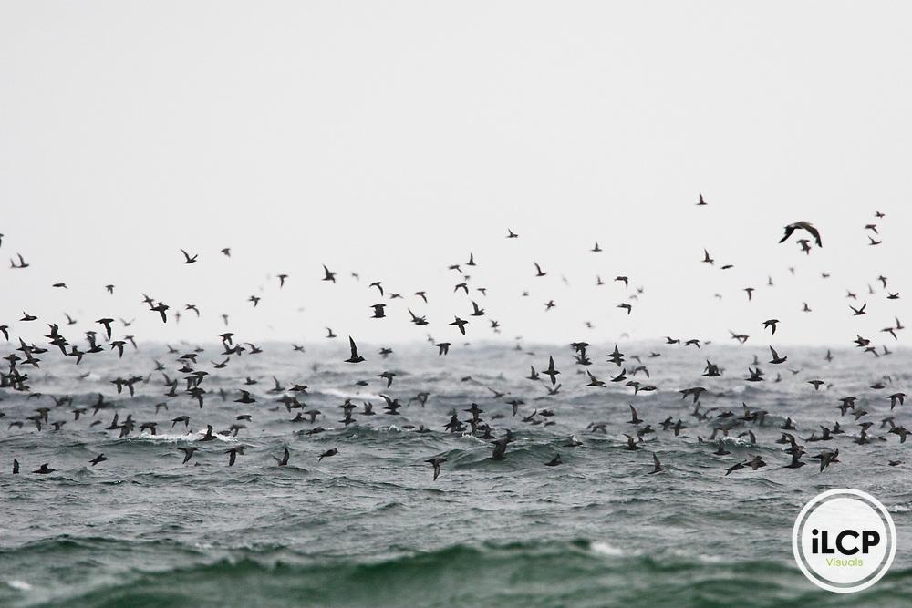 Sooty Shearwater (Puffinus griseus) flock flying over ocean, Salinas River National Wildlife Refuge, Monterey Bay, California