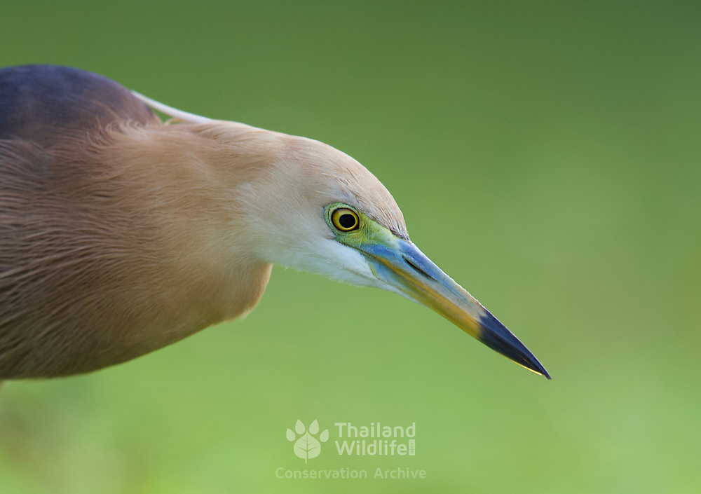 The Javan pond heron (Ardeola speciosa) is a wading bird of the heron family, found in shallow fresh and salt-water wetlands in Southeast Asia. Its diet comprises insects, fish, and crabs.