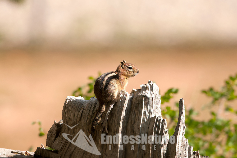 A Uinta Chipmunk peeks over a stump and rests in the sun after feeding on seeds at its base.