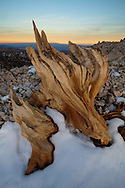 An ancient bristlecone pine reflects the last rays of daylight, White Mountains, CA