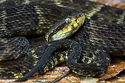 Common lancehead (Bothrops atrox)<br /> Morona Santiago<br /> Amazon<br /> South East ECUADOR. South America<br /> Captive