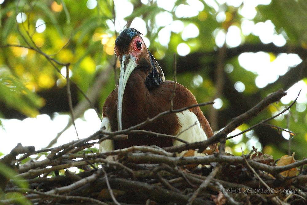 Madagascar Ibis, Lophotibis cristata, on nest, Madagascar, by Markus Lilje