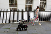 A young woman walks two tired Spaniel sisters along a side street in Westminster, on 16th July 2019, in London, England.
