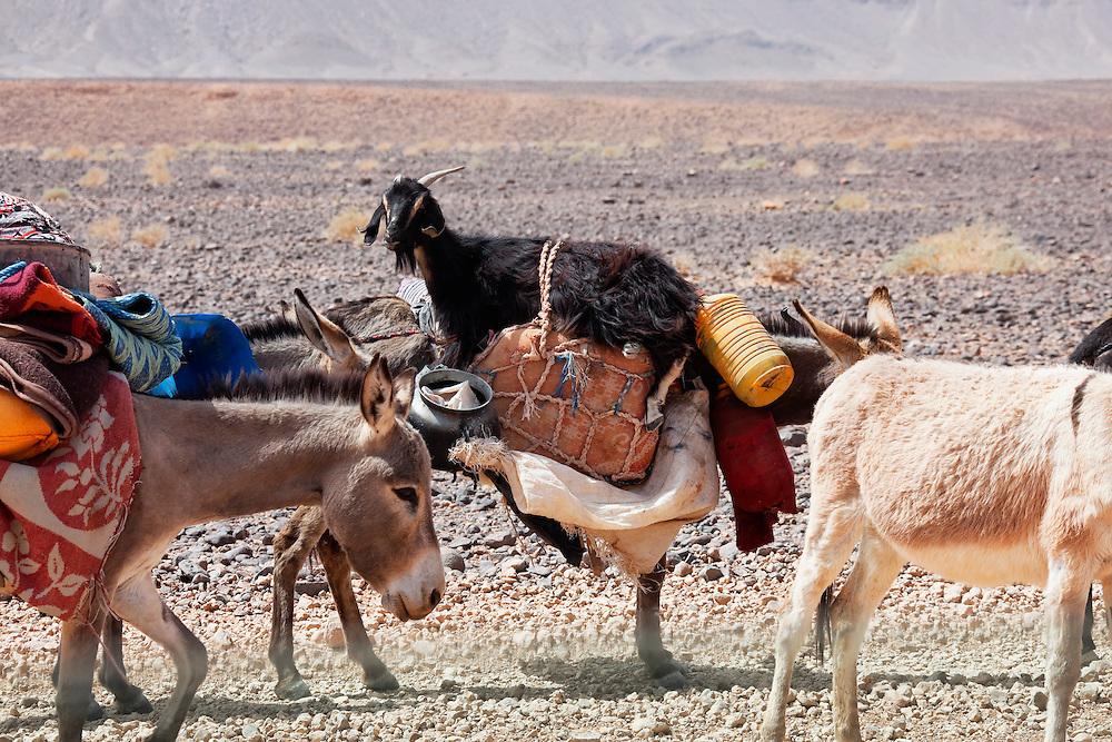 Donkeys of nomads carrying goods and a goat through stony desert, Sahara desert, Morocco.
