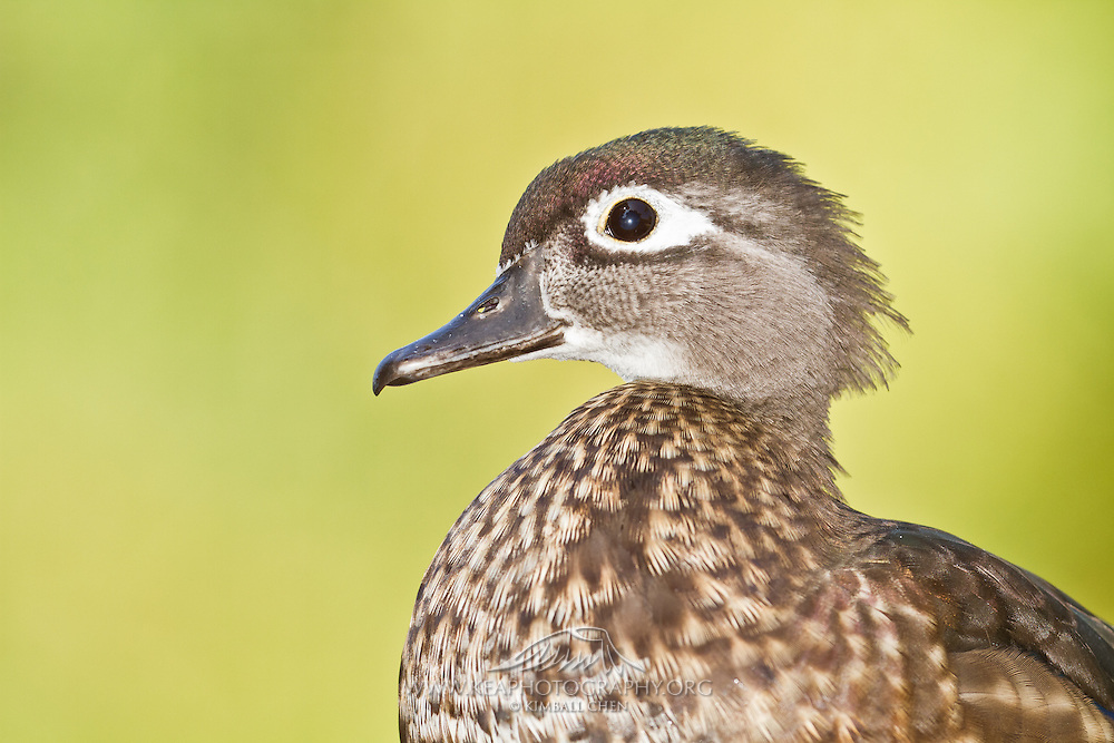 Female Wood Duck, displaying its characteristic white ring around its eye, North America