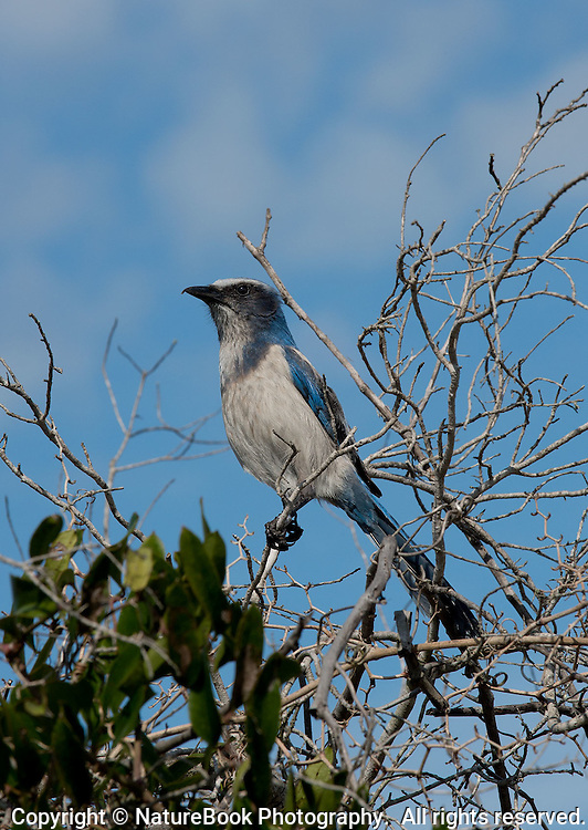 The Florida Scrub Jay resides in the Oak Scrub at the Merritt Island National Wildlife Refuge.  This bird is listed as endangered because its habitat is under threat of development.  This bird is habituated to people, and allows close proximity for feeding, observing and photographing.