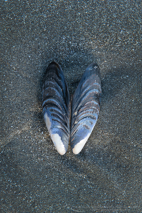 Mussel shell on beach