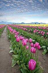 North America, United States, Washington, Mount Vernon, tulips in bloom at annual Skagit Valley Tulip Festival, held in April