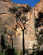 Tree And Rock Wall, Zion National Park, Utah