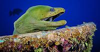 Green moray eel at sunken wreck on Roatan, Honduras.