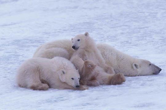 Polar Bear, (Ursus maritimus) Mother and cubs. Churchill, Manitoba. Canada.