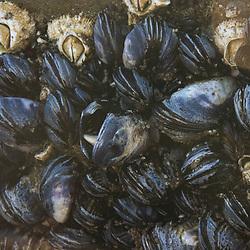 Barnacles and Mussels at Kalaloch Beach 4, Olympic Peninsula, Washington, US